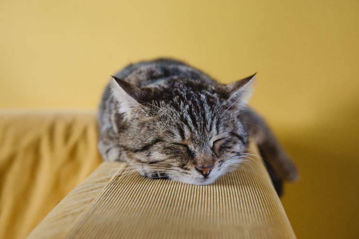 Cimurro nel gatto