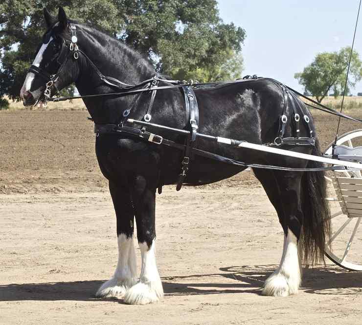 razze cavalli inglesi