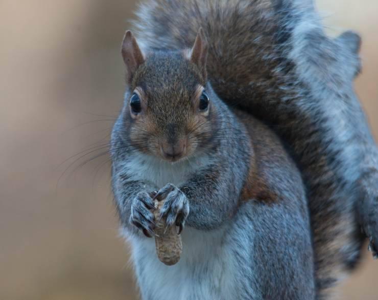 scoiattolo grigio ferito