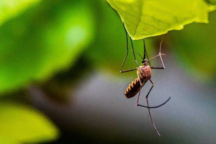 Piante anti-zanzare