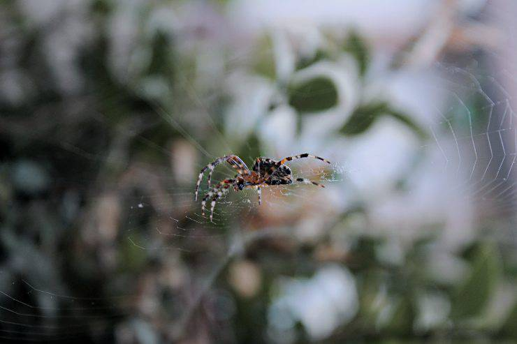 Predatori di ragni