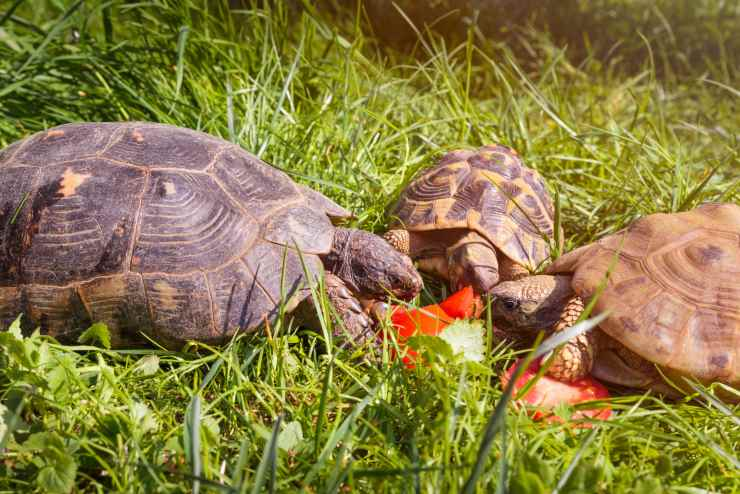 La tartaruga può mangiare pomodoro?