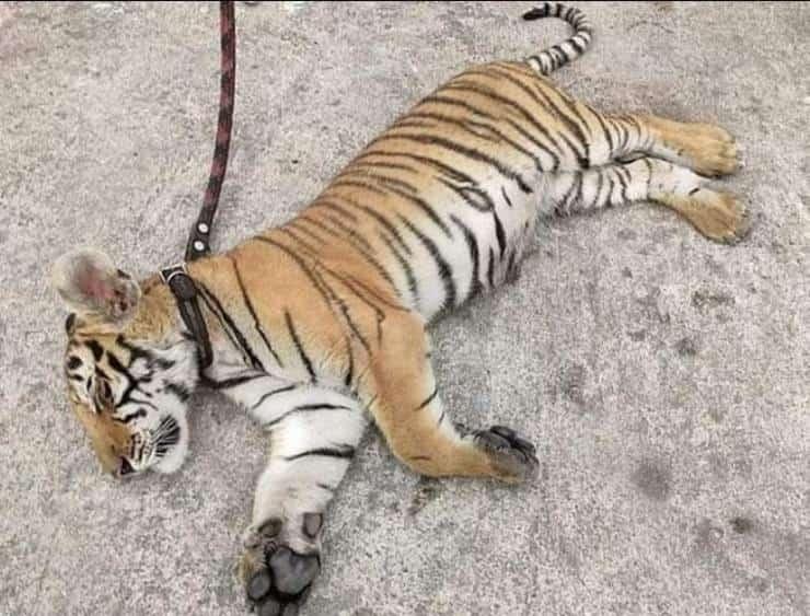 Tigre 35 chili portata a spasso come un cagnolino