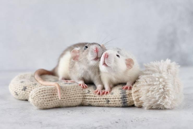 La gravidanza del topo domestico: la guida, fino alla cura dei cuccioli