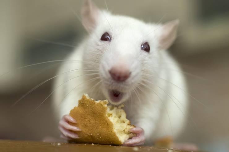 Pulire la gabbia del topolino domestico