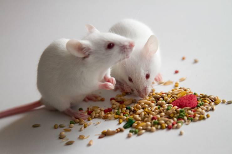 In vacanza con i topolini domestici