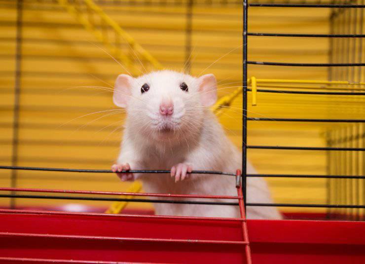 Curiosità sul topo che ogni padrone (o futuro padrone) deve conoscere