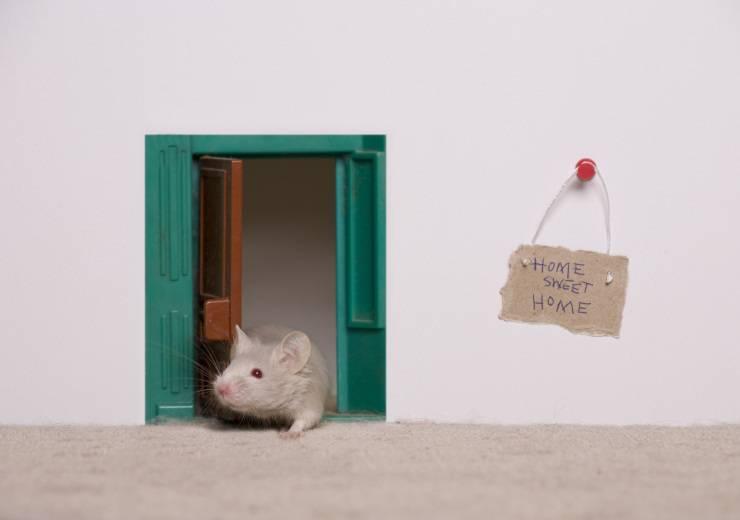 Giocare con il topolino domestico: come addestrarlo