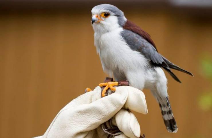 Il falco pigmeo africano