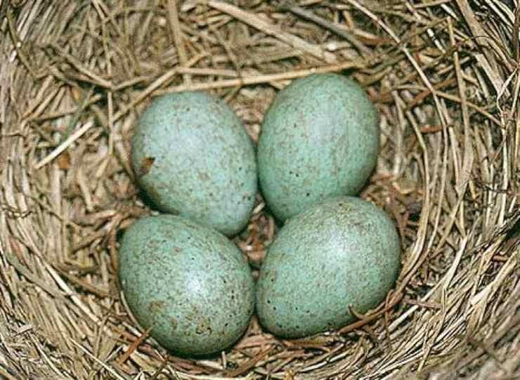Uova di merlo