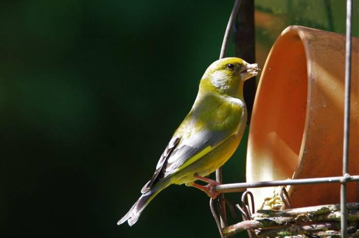 uccello verdone