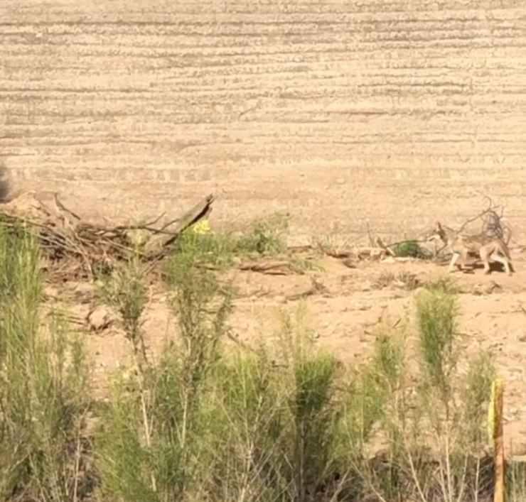 coyote roadrunner reale