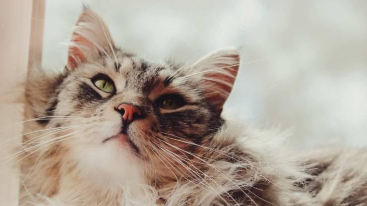 ragioni per adottare un gatto maine coon