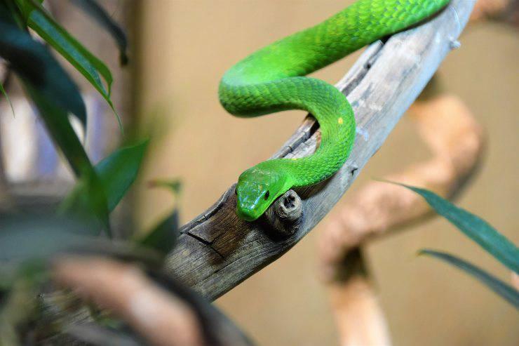 Serpenti che non mangiano roditori