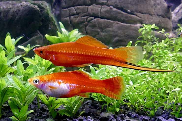 Pesci tropicali per principianti