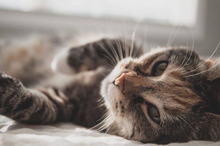 Antiparassitario sul gatto