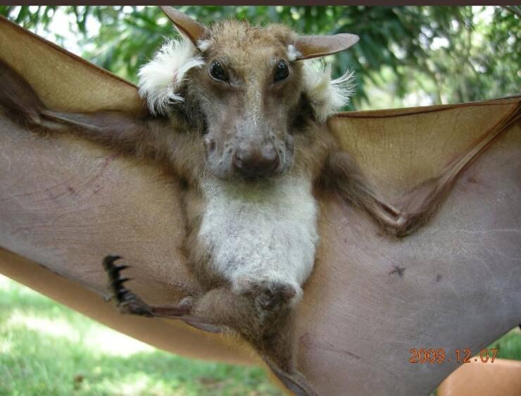 pipistrelli della frutta spallati di Buettikoferi