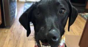 Labrador malformazioni