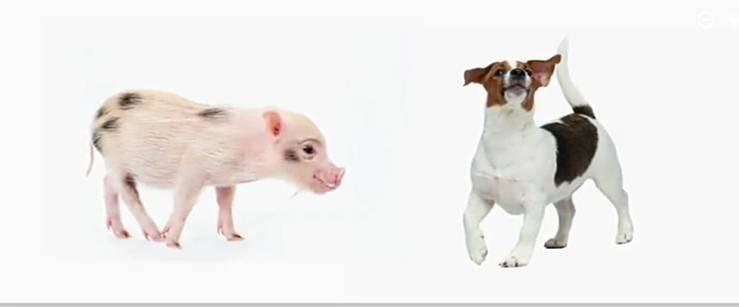 Il maiale sarà il futuro migliore amico dell'uomo