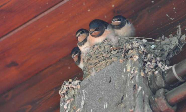 Rondini sul nido (Foto Facebook)