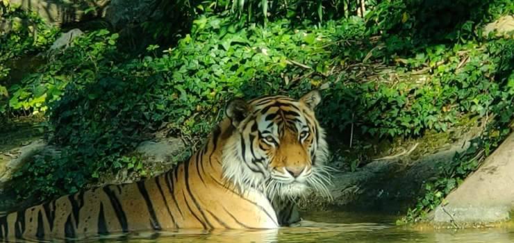 tigre siberiana italia