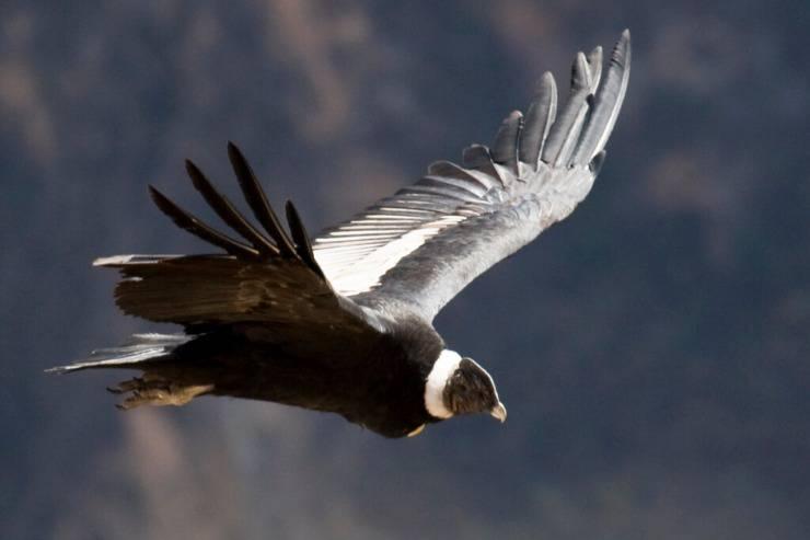Il condor andino: l'uccello più grande al mondo, con un record di volo