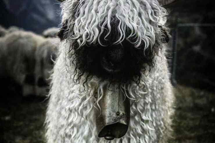 viso di pecora in primo piano (Foto Facebook)