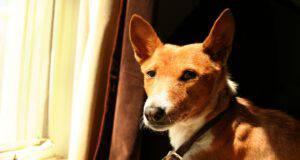 cani che non abbaiano in appartamento basenji