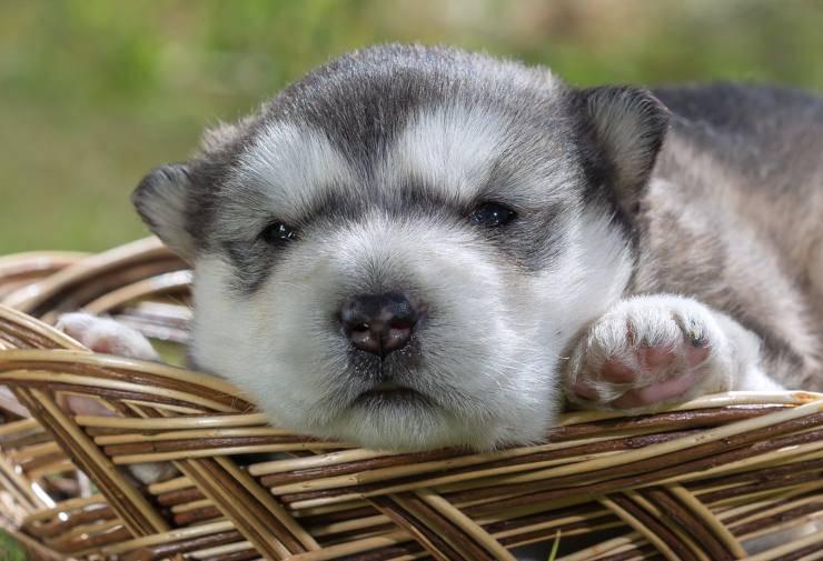 Adottare un cucciolo di Alaskan Malamute