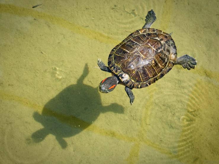 I motivi per non adottare una tartaruga di terra o di acqua