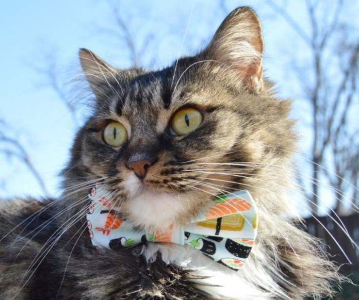 Il gatto può mangiare sushi?