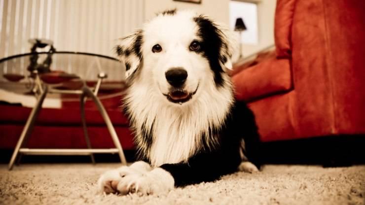 migliori razze cani vita in appartamento