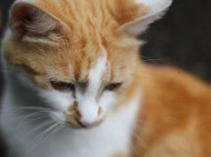 Lussazioni delle articolazioni nel gatto