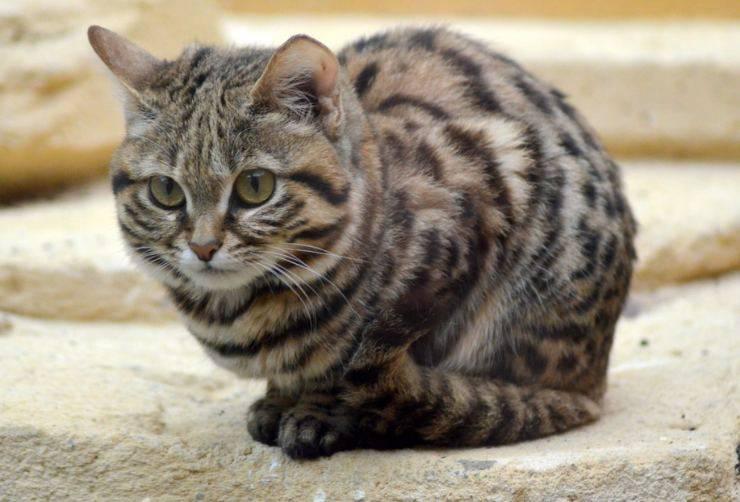 Gatto dai piedi neri, il più piccolo felino africano è davvero feroce