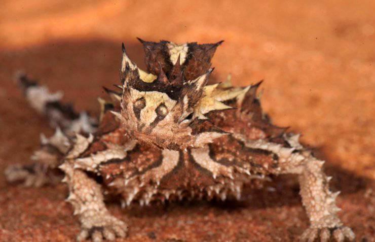 moloch australiano diavolo del deserto