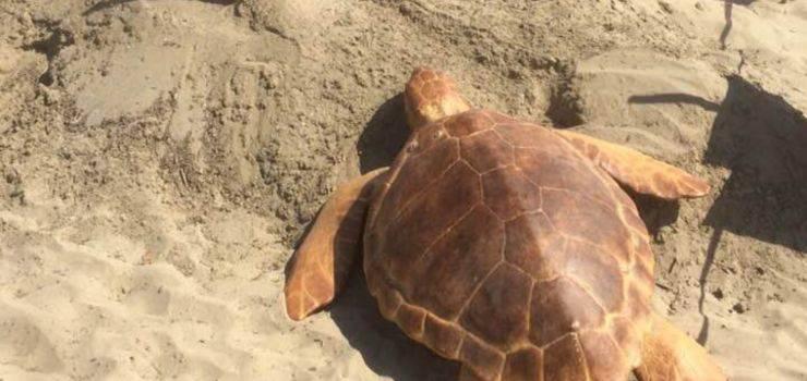 tartaruga cane nido