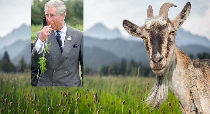 Carlo è una capra