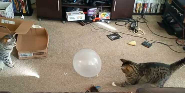 I due gatti in sfida per il palloncino (foto video)