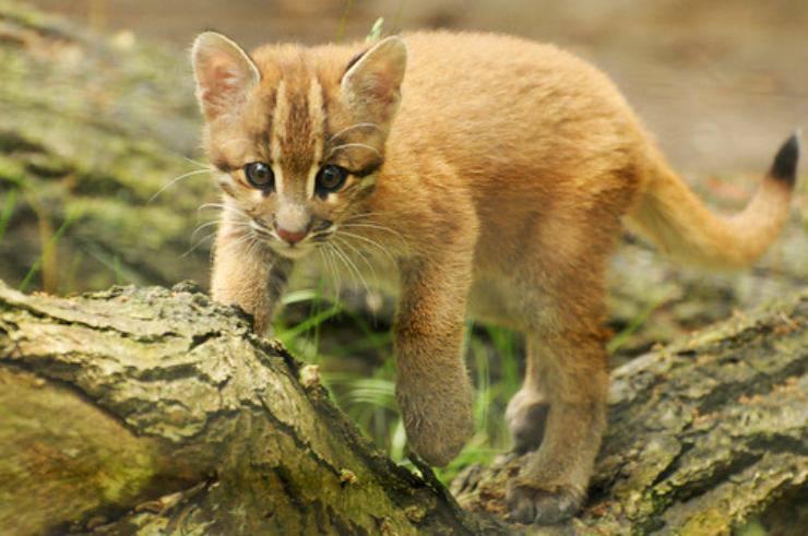 gatto dorato asiatico