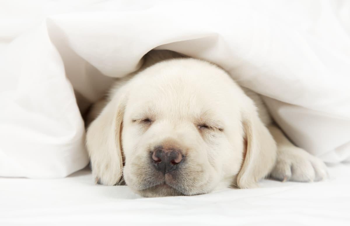 Come abituare il cucciolo a dormire da solo (Foto Adobe Stock)