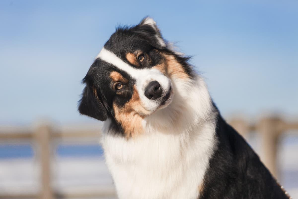 Perché il cane piega la testa (Foto Adobe Stock)
