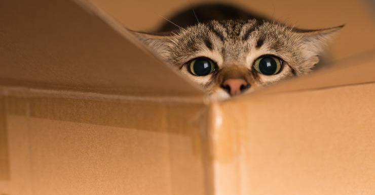 Micio nella scatola