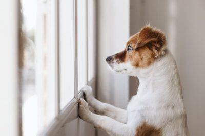 Lasciare il cane in casa solo per più giorni (Foto Adobe Stock)