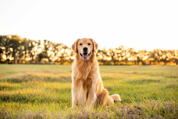 Il Golden Retriever sorridente (Foto Adobestock)