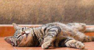 Gatto si gira su sé stesso