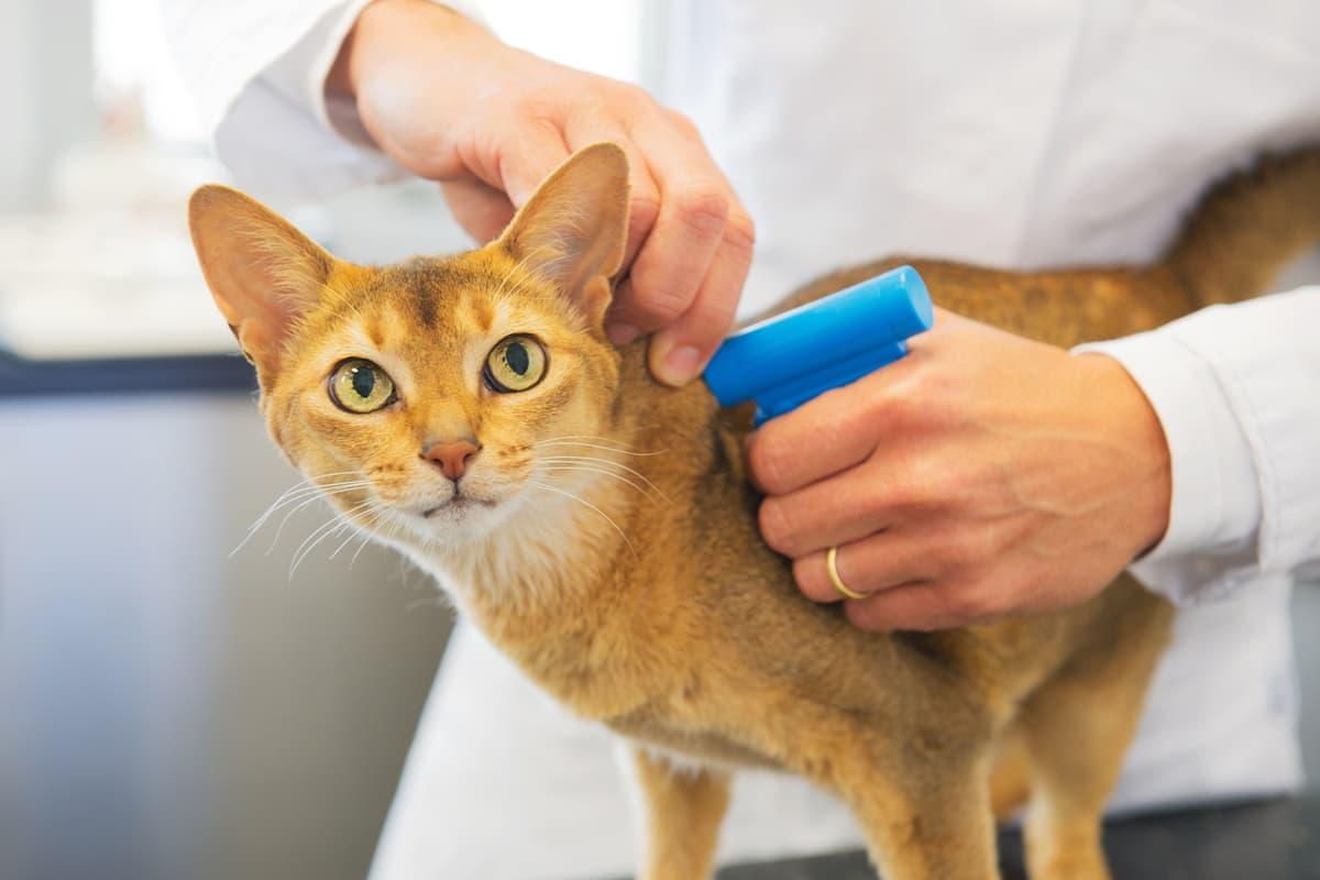 E' obbligatorio mettere il microchip al gatto? (Foto Adobe Stock)