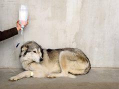 Come fare la flebo al cane (Foto Adobe Stock)