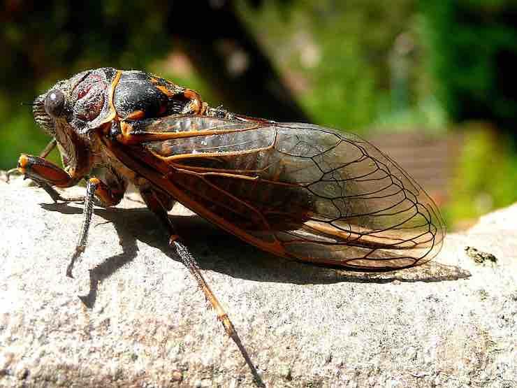 La cicala della famiglia cicadae