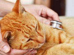 Tromboembolismo arterioso del gatto