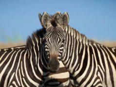 foto due zebre